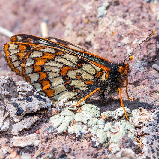 '12 bin yaşındaki' kelebek 50 yıl sonra yeniden görüntülendi
