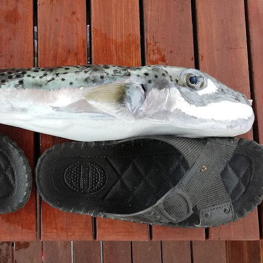 Balıkçıların balon balığı tedirginliği: Teneke yiyen her şeyi yer