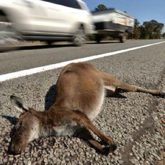 أستراليا تقاضي شابًا دهس 20 كنغرًا بسيارته