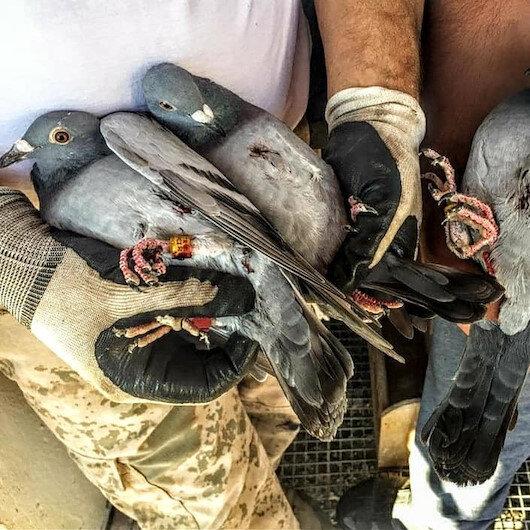 Kaçak avcıların hedefi bu kez de posta güvercinleri