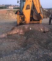 İzmirde karaya vurdu gören dehşete düştü: 3 metre uzunluğunda