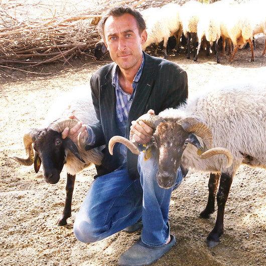 Çine Çaparı koyunu artık emin ellerde