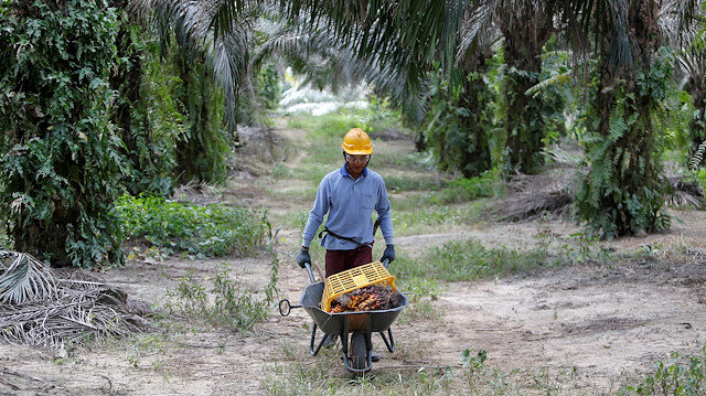 File photo: A worker collects palm oil fruits at a plantation in Bahau