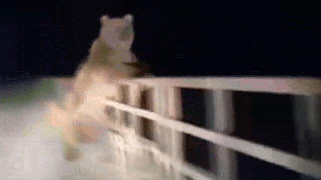 Kastamonuda otomobilin önüne çıkan ayı korkuttu