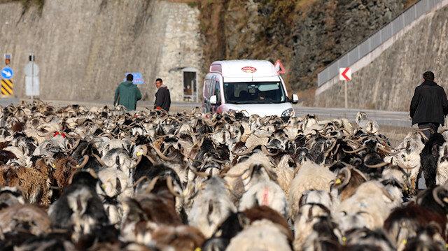 Koyun sürüsü ile karayoluna çıktı trafik kilitlendi: İlginç görüntüler ortaya çıktı
