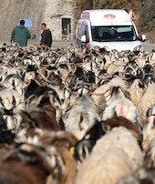 Koyun sürüsü trafiği kilitledi