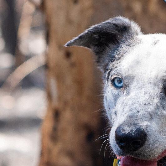 Hero dog helps find koalas injured in Australian bushfires