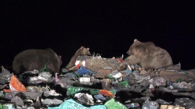 Yiyecek bulamayan boz ayılar çöplüğün müdavimi oldu