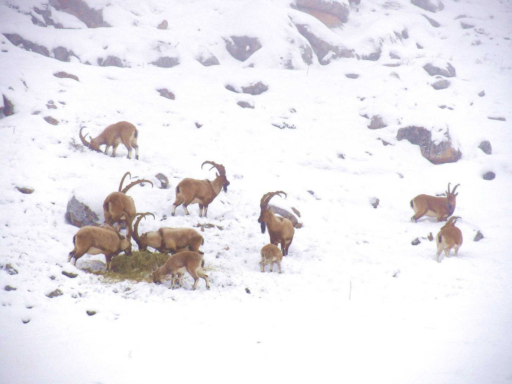 2003 yılında 700 civarında olan yaban keçisi sayısının, geçen 16 yılda 1400'lere kadar ulaştığı belirtildi.
