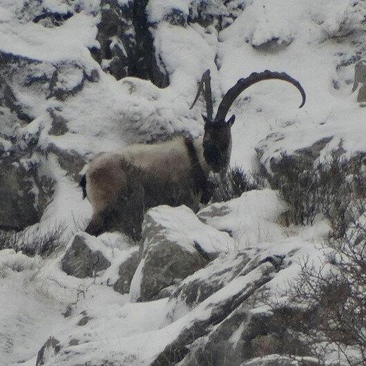 Niğde'de koruma altına alınan yaban keçisi sayısı 16 yılda 700'den bin 400'e çıktı