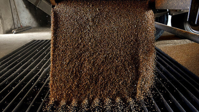A grain trailer empties wheat