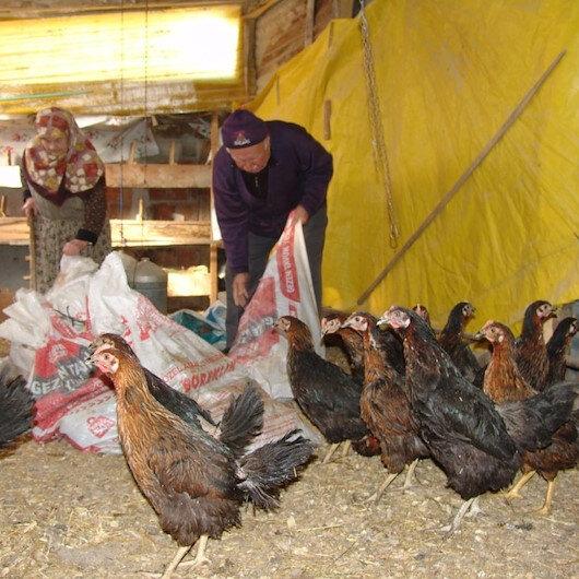 Gözü gibi baktığı tavuklar köpekler tarafından telef edildi: İşçi emeklisi vatandaş, yaşlı adama 100 yeni tavuk alarak sevindirdi