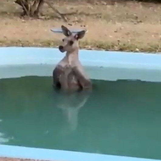 Exhausted kangaroo cools down in backyard pool as bushfires rage