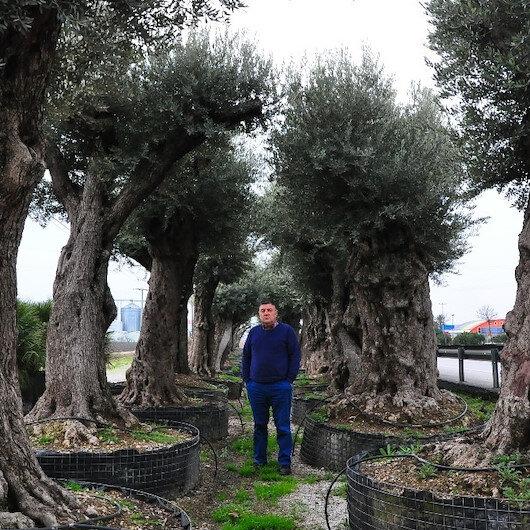 500 yaşındaki zeytin ağaçlarını kesilmekten kurtarıp bakımlarını yaptı: 25 bin liradan satışa sundu