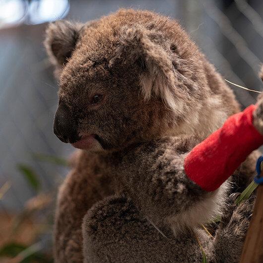 Avustralya'da okaliptüs ağaçların dozerlerle yıkılması sonucu onlarca koala öldü