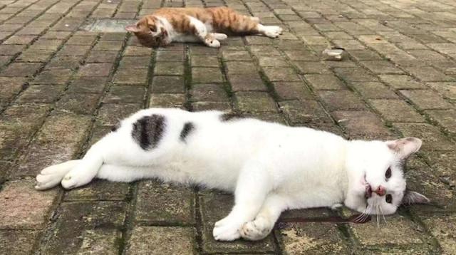 coronavirus у кошек