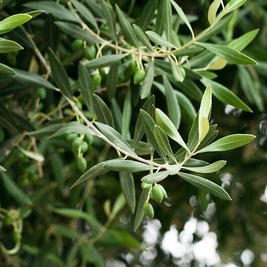 Zeytin yaprağı çayındaki mucize: Virüs türlerine karşı vücudun direncini koruyor