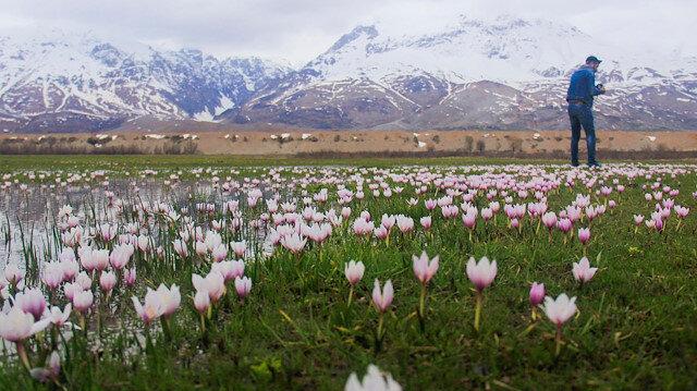 """زهور اللبن الثلجية تزين حقول """"طونج إيلي"""" التركية"""