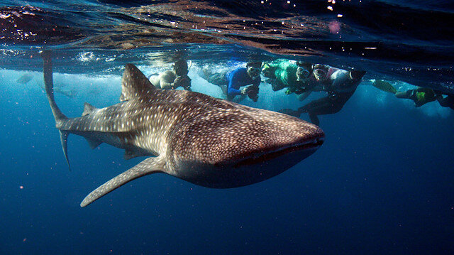 FILE PHOTO: Snorkelers swim with a whale shark, the world's largest fish, at Maldives' South Ari Atoll August 27, 2012