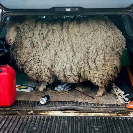 Firari koyun 7 yıl sonra evine döndü