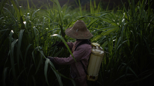 File photo: A farmer sprays pesticides at a sugar cane field