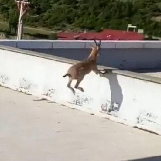 Gümüşhane'de ilginç görüntü: Yavru yaban keçileri hastane bahçesine indi
