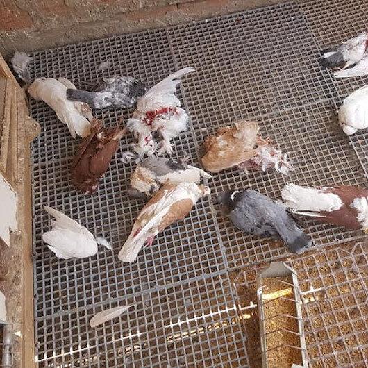 Sansar kümeste bulunan 21 güvercini parçaladı