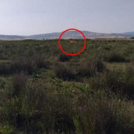 Çorum'da sürüye 'aslan saldırdı' iddiası: Çobanımız görüp çekmiş, hatta dişi olduğunu biliyoruz