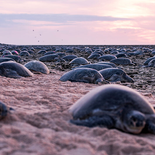 World's largest green turtle colony nearly twice as big as thought