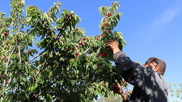 Cherry season in Syria's Idlib