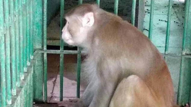 ​Alcoholic killer monkey sentenced to life behind bars after injuring 250 people in India