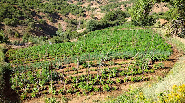 Over 1M cannabis roots seized in eastern Turkey