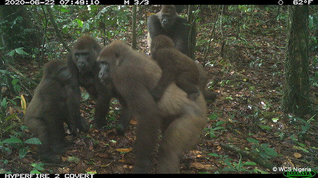 World's rarest gorillas spotted in southern Nigeria