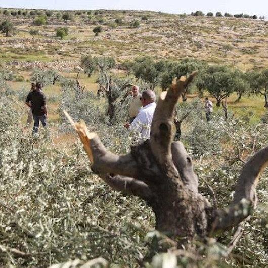 مستوطنون يقطعون 70 شجرة زيتون جنوبي الضفة