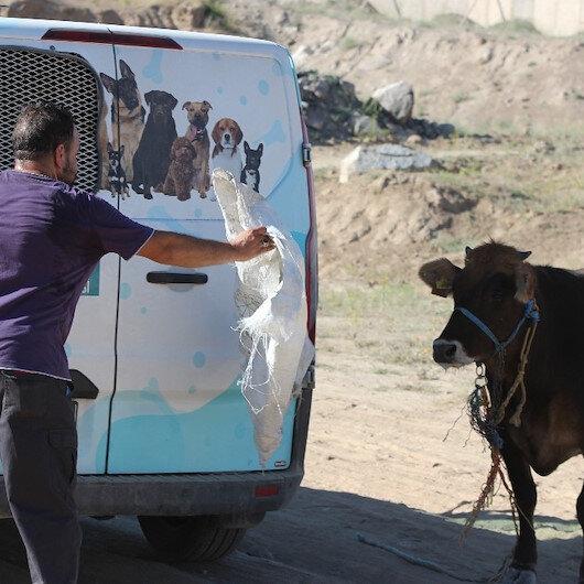 Kayseri'de kaçan dana ortalığı birbirine kattı: Gel kurban olduğum