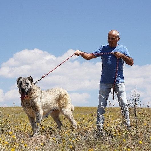 Kangal köpeklerine çipli takip geliyor: Genetiği koruma altına alınacak