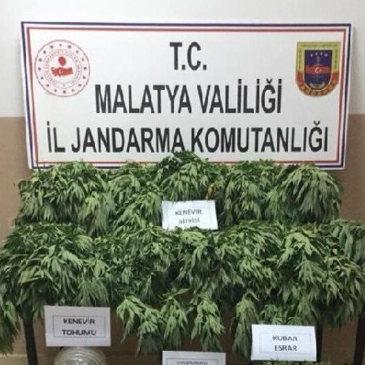 Malatya'da büyük operasyon: 21 bin 500 kök Hint keneviri ele geçirildi