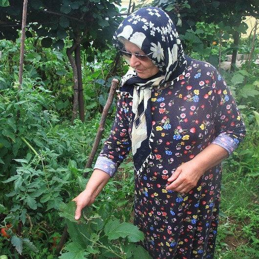Rize'de patates böceği kabusu: Ne patlıcan ne biber hiçbir sebze yetiştiremedik