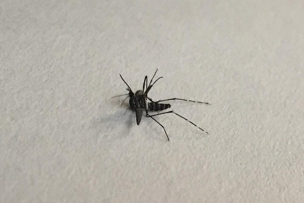 Asya Kaplanı sivrisineği