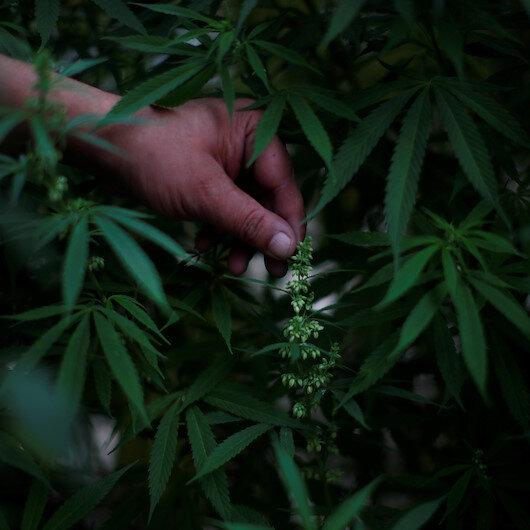 Eswatini: School closures push pupils to grow marijuana