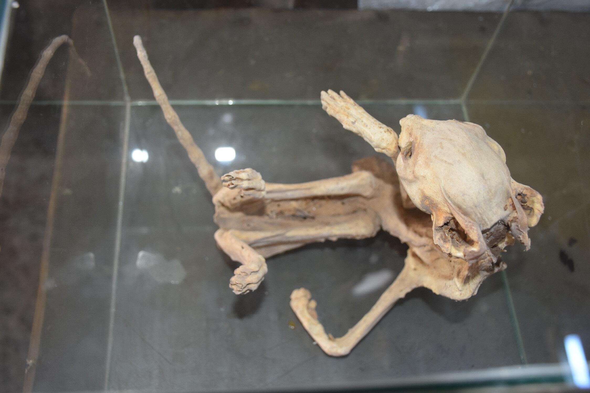 Bor ilçesinde anahtarcılık yapan Abdullah Öztürk, bir arkadaşının kayadan oyma kilerinde bulduğu, kuyruğu 45, bedeni ise 60 santimetre olan bir hayvan iskeletini ilginç olduğu için alıp, özel olarak yaptırdığı camekan içerisinde saklamaya başladı.