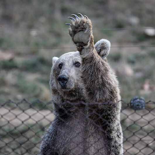 بورصة التركية.. الدببة البرية تستعد للسبات الشتوي