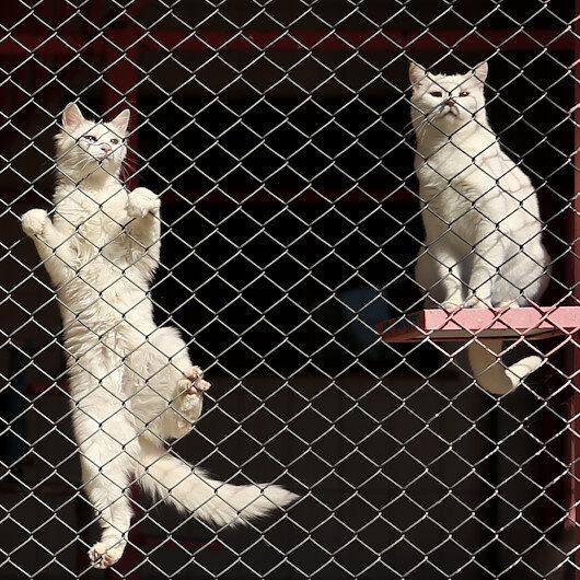 Chinese man travels to Turkey to adopt rare Van cat