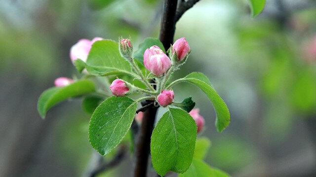 تركيا.. أشجار تفاح تزهر قبل أوانها