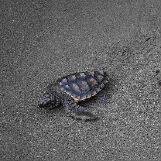 Endangered sea turtles enjoy empty Turkish beaches