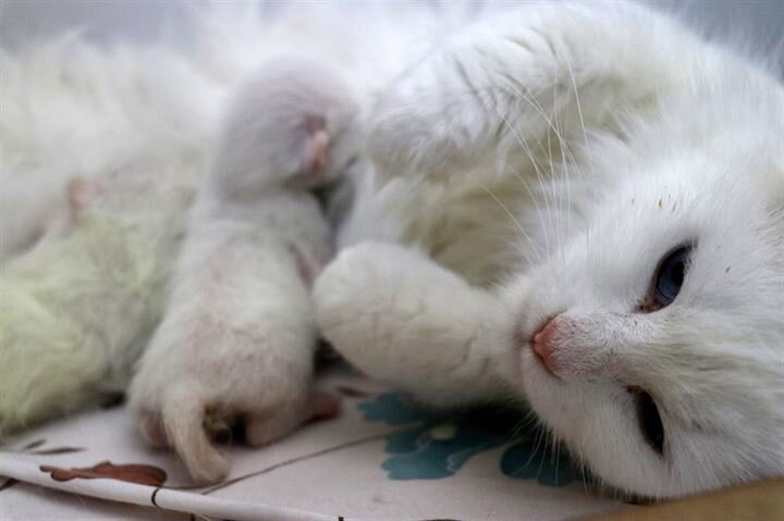 Turkish cat has C-section giving birth to three kittens