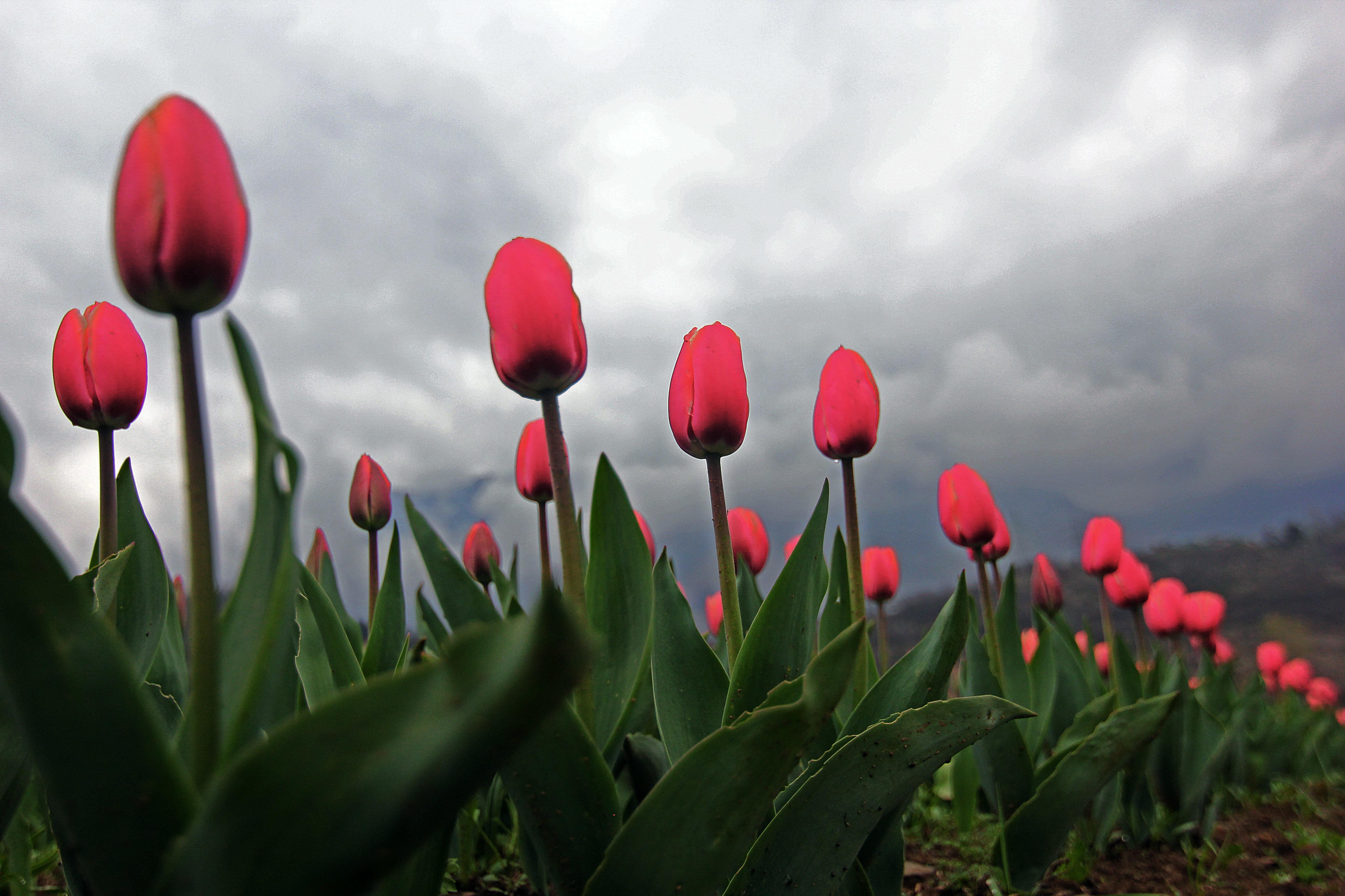 Asia's largest Tulip Garden opens in Kashmir